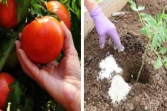 Сажая помидоры, всегда кладу это в лунку, чтобы они не болели и давали щедрый урожай